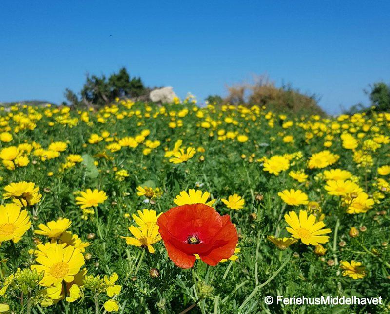 En rød valmue blant en hel eng med gule margeritter en mars dag på Nord Kypros.